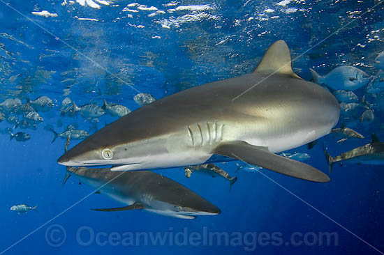 Silky Shark (Carcharhinus falciformis). Circumtropical species, possibly occasionally venturing into warm temperate seas. Photo taken Gulf of Mexico, Louisiana, USA.