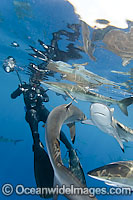 Silky Shark Photo - Andy Murch