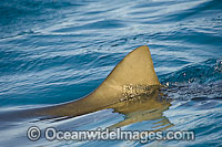 Lemon Shark fin at surface Photo - Andy Murch