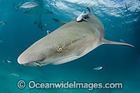 Lemon Shark Negaprion brevirostris Photo - Andy Murch