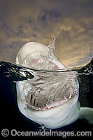 Lemon Shark jaws Photo - Andy Murch