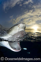 Lemon Shark Negaprion brevirostris jaws Photo - Andy Murch