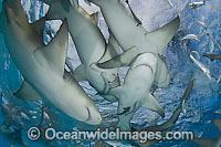 Lemon Sharks on surface Photo - Andy Murch