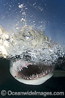 Lemon Shark jaws under surface Photo - Andy Murch