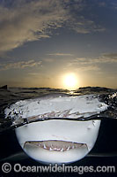 Lemon Shark jaws under surface at sunset Photo - Andy Murch