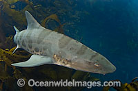 Leopard Shark Triakis semifasciata Photo - Andy Murch