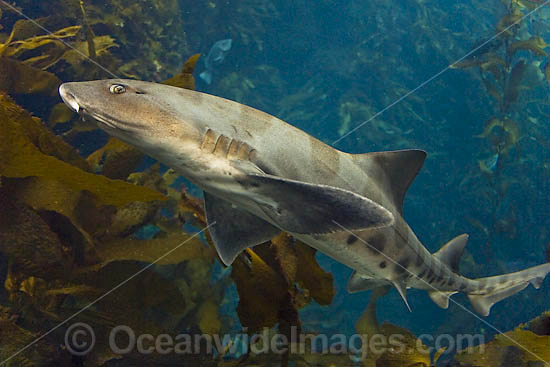 the characteristics of leopard sharks triakis semifascicata from the family of requiem sharks carcha Leopard shark triakis semifasciata girard the requiem shark family  in the atlantic ocean from the gulf of st lawrence to the gulf of mexico.