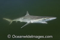 Atlantic Sharpnose Shark Rhizoprionodon terraenovae Photo - Andy Murch