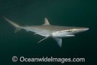 Pacific Sharpnose Shark Rhizoprionodon longurio Photo - Andy Murch