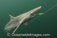 Pacific Sharpnose Shark caught on longline Photo - Andy Murch