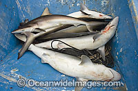 Dead Pacific Sharpnose Sharks on longline fishing boat Photo - Andy Murch