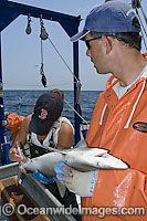 Researchers Tag Atlantic Sharpnose Shark