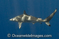 Spinner Shark Carcharhinus brevipinna Photo - Andy Murch