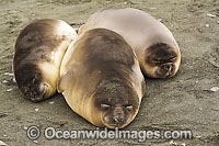 Southern Elephant Seal sleeping pups photo