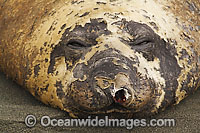 Southern Elephant Seal damaged nostril photo