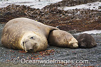 Southern Elephant Seal mother with pups Photo - Inger Vandyke