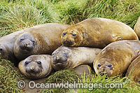 Southern Elephant Seal sleeping pups Photo - Inger Vandyke