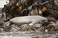 Southern Elephant Seal resting on bull kelp Photo - Inger Vandyke
