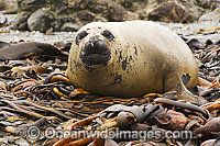 Southern Elephant Seal resting on bull kelp
