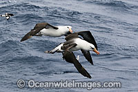 Black-browed Albatross pair in flight Photo - Inger Vandyke