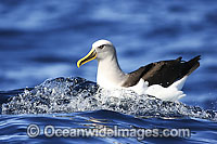 Buller's Albatross Diomedea bulleri photo