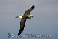 Buller's Albatross in flight photo