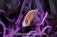 Pink Anemonefish Amphiprion perideraion Photo - Gary Bell