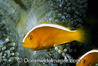 Eastern Skunk Anemonefish Photo - Gary Bell