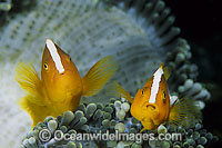 Eastern Skunk Anemonefish Amphiprion sandaracinos Photo - Gary Bell