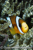 Clark's Anemonefish Amphiprion clarkii Photo - Gary Bell