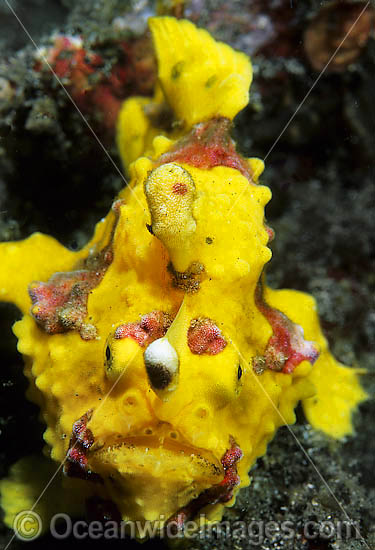 Clown Frogfish (Antennarius maculatus). Also known as Clown Anglerfish. Found on sheltered reefs throughout the Indo-West Pacific. This species is variable in colour, but usually has a red or orange margin on the fins. Photo, Tulamben, Bali, Indonesia Photo - Gary Bell