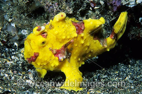Clown Frogfish (Antennarius maculatus). Also known as Clown Anglerfish. Found on sheltered reefs throughout the Indo-West Pacific. This species is variable in colour, but usually has a red or orange margin on the fins. Photo, Tulamben, Bali, Indonesia