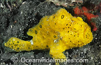 Painted Frogfish Antennarius pictus photo