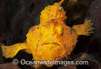 Painted Frogfish photo