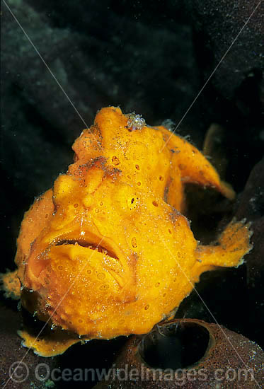 Painted Frogfish (Antennarius pictus). Also known as Painted Anglerfish. Found usually near sponges throughout the Indo-West Pacific. This species is highly variable in colour and can come in any colour. Photo taken, Lembeh Strait, Sulawesi, Indonesia