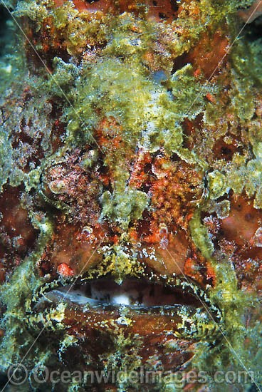 Giant Frogfish (Antennarius commersoni) - showing close detail of face. Also known as Giant Anglerfish. Found throughout the Indo-West Pacific. Photo taken, Lembeh Strait, Sulawesi, Indonesia