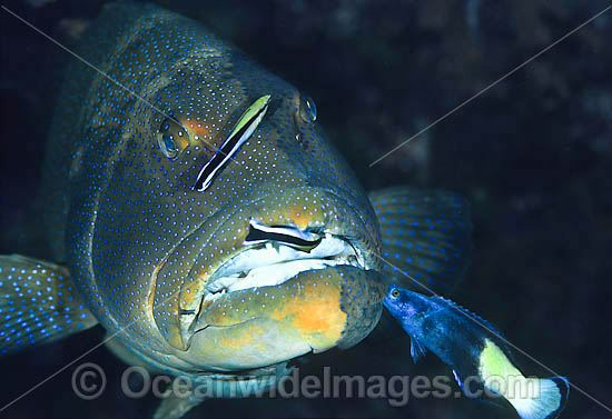 Footballer Trout cleaned by wrasse photo