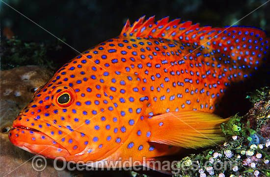 Coral Grouper (Cephalopholis miniata). Also known as Coral Rock Cod and Coral Cod. Found inhabiting coral reefs throughout Indo-West Pacific, including Great Barrier Reef, Australia Photo - Gary Bell