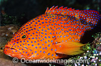 Coral Grouper photo