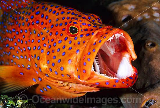 http://www.oceanwideimages.com/images/14084/large/coral-grouper-24M1092-26.jpg