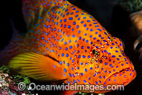Coral Grouper cleaned by cleaner shrimp photo