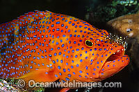 Coral Grouper cleaned by shrimp photo