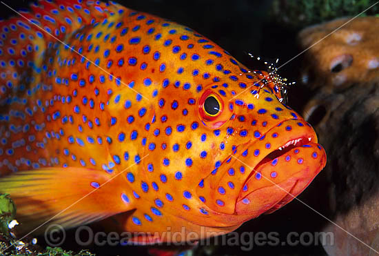 Coral Grouper (Cephalopholis miniata), also known as Coral Rock Cod and Coral Cod, being cleaned by Cleaner Shrimp (Urocardidella antonbruunii) . Found inhabiting coral reefs throughout Indo-West Pacific, including Great Barrier Reef, Australia Photo - Gary Bell