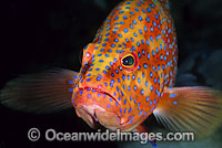 Coral Grouper Coral Cod photo