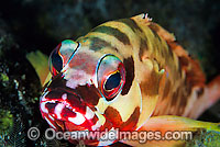 Black-tipped Grouper Epinephelus fasciatus photo