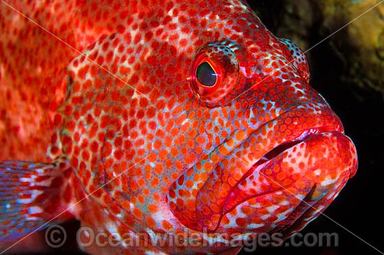 Tomato Grouper (Cephalopholis sonnerati), also known as Tomato Rock Cod. Found inhabiting coastal and off-shore tropical coral reefs throughout Indo-West Pacific, including Great Barrier Reef, Australia