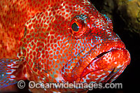 Tomato Grouper Cephalopholis sonnerati photo