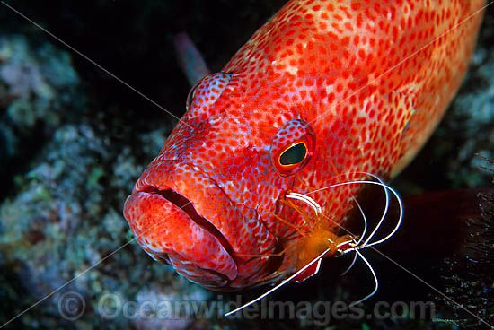 Cleaner Shrimp (Lysmata amboinensis) - cleaning a Tomato Grouper (Cephalopholis sonnerati), also known as Tomato Rock Cod. Found throughout Indo-West Pacific, including Great Barrier Reef, Australia Photo - Gary Bell