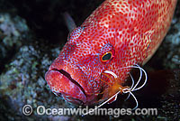 Tomato Grouper cleaned by shrimp photo
