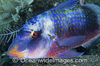 Banded Goatfish Parupeneus multifasciatus Photo - Gary Bell